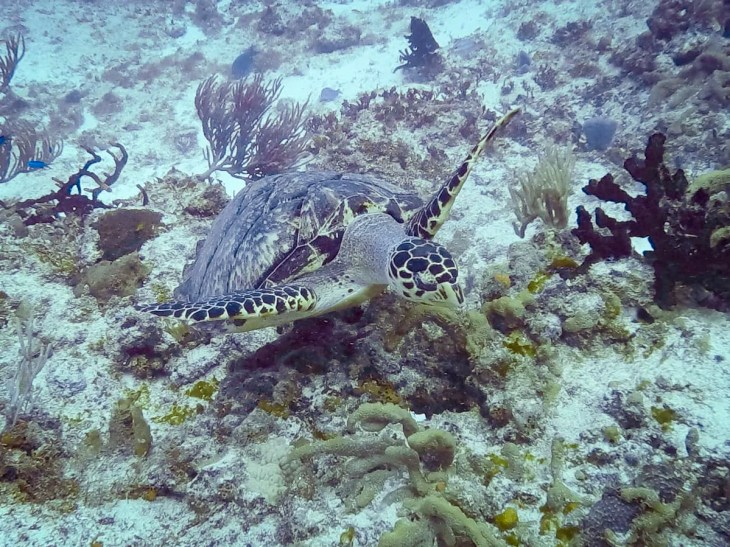 Sea turtle in Cozumel, Mexico