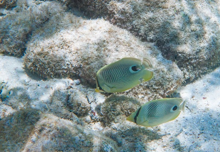 Four Eye Butterflyfish in Curacao