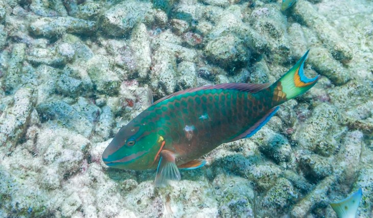 Stoplight Parrotfish in Curacao