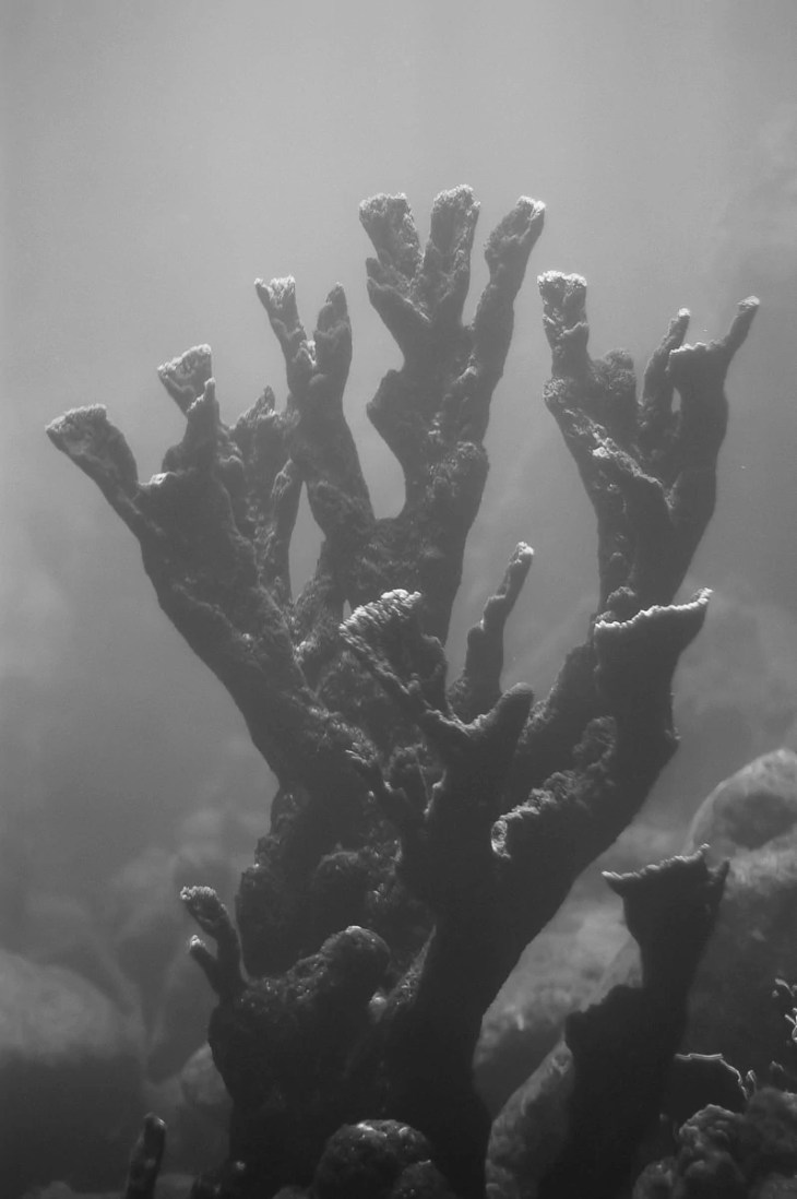 Fire Coral in Curacao