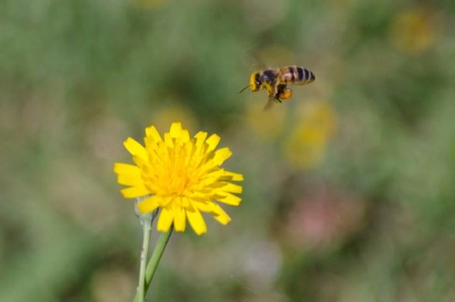 Bee in hovering over a flower