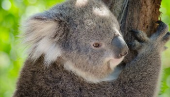 A koala at the Healesville Sanctuary