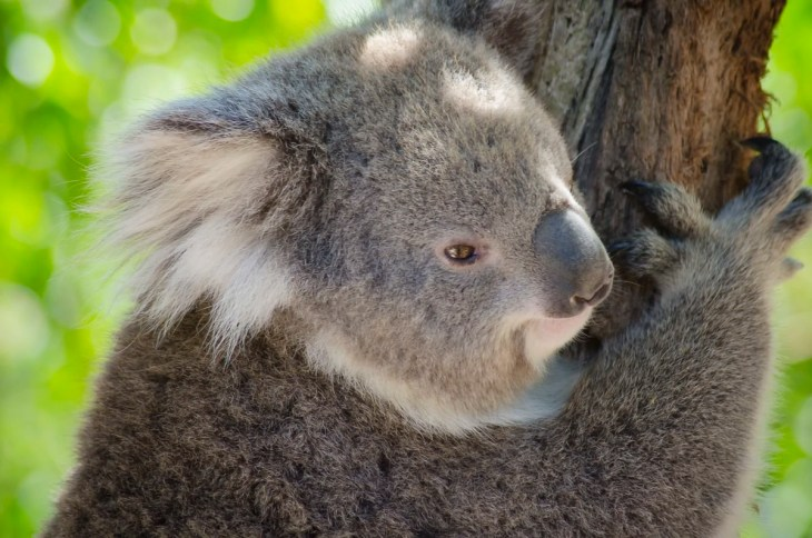 A koala at the Healesville Sanctuary