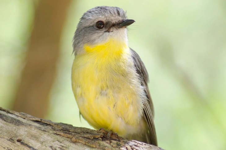 A Lemon-bellied Flycatcher at the Healesville Sanctuary