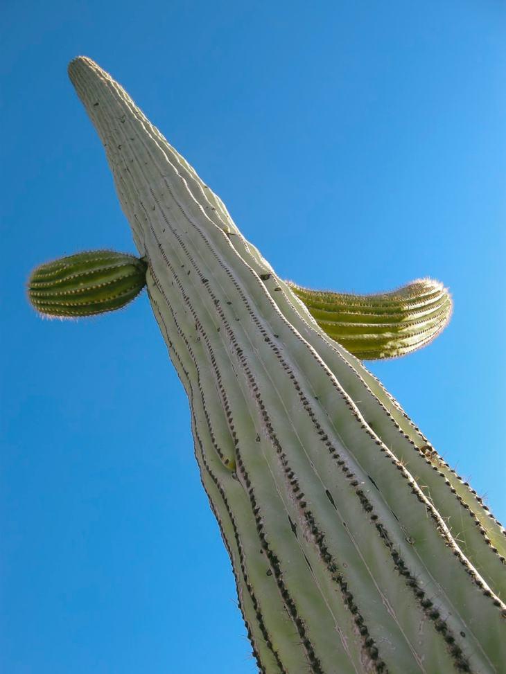 A cactus at Saguaro National Park, Arizona