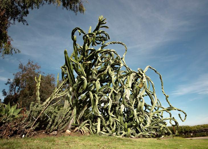 A massive crazy cactus formation at Balboa Park