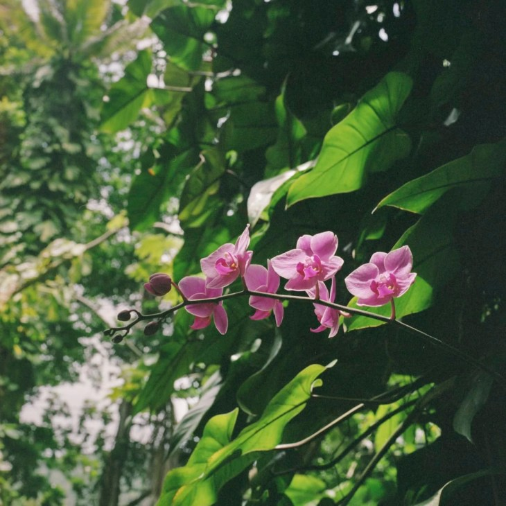 A wild orchid in St. Lucia