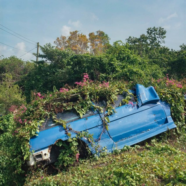 An abandoned car overgrown by flowering vines
