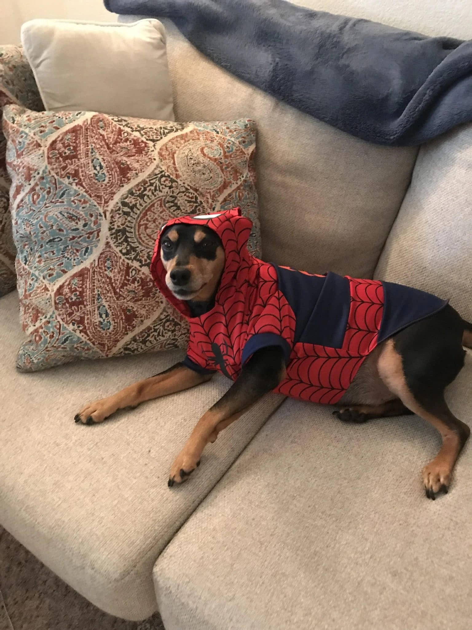 Gambit, our miniature pinscher in a Spiderman costume