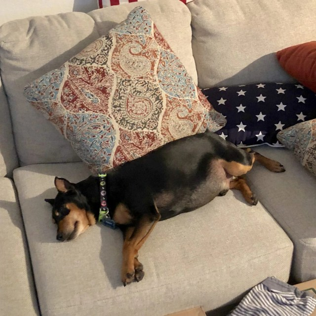Who owns the couch? Us or Gambit our miniature pinscher?