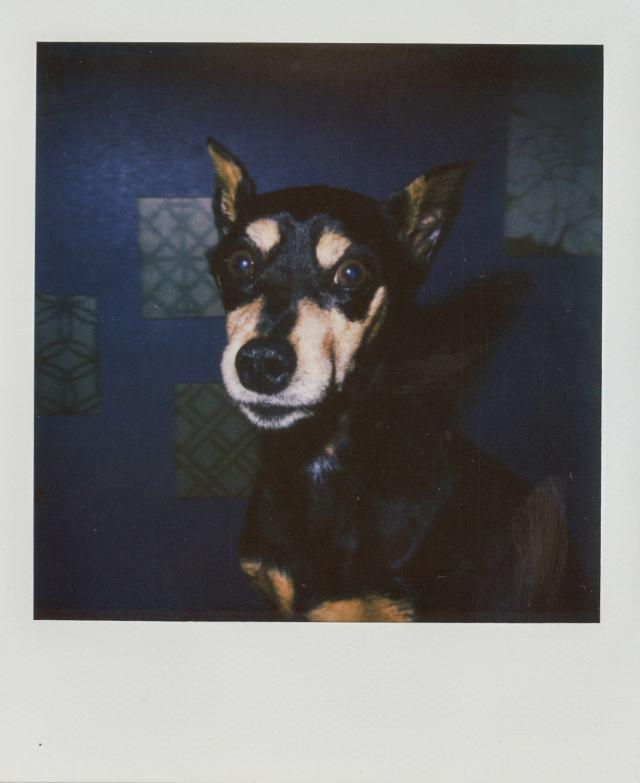 A Polaroid portrait of my miniature pinscher in Rockwall, Texas. Best Photos of 2020.