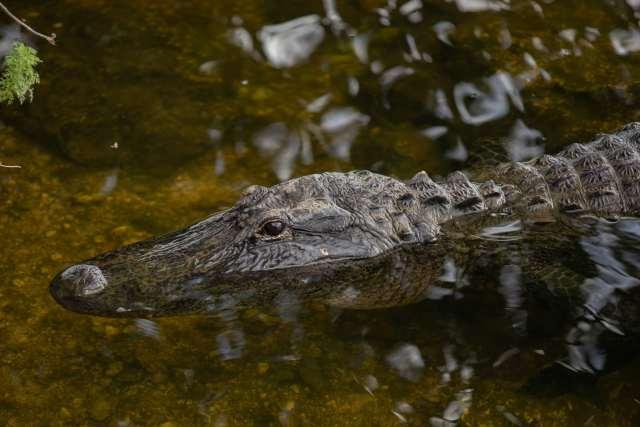 An Alligator in a creek in the Everglades