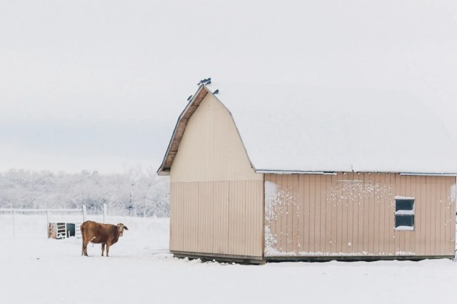 A cow and small barn in Snowmageddon 2010