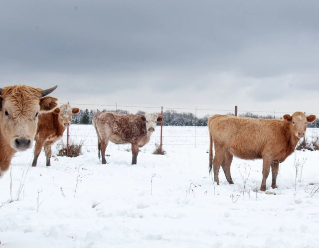 Cows in the Wills Point snow