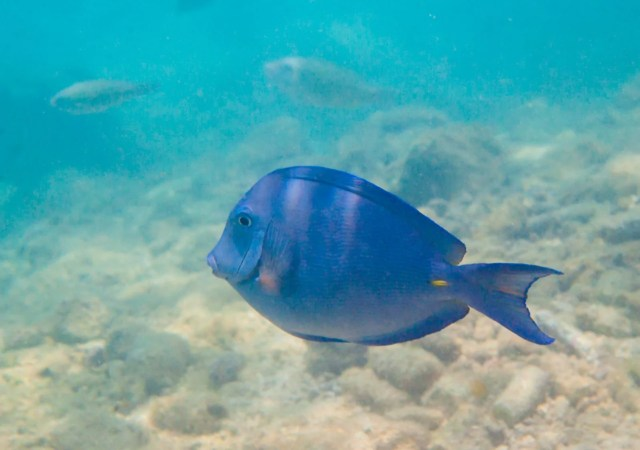 Atlantic Blue Tang (Acanthurus coeruleus) fish in Curacao