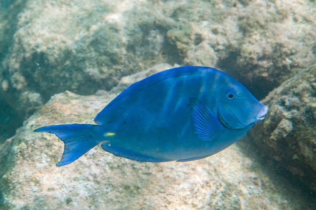 Atlantic Blue Tang (Acanthurus coeruleus) fish in Curacao, Underwater Photography