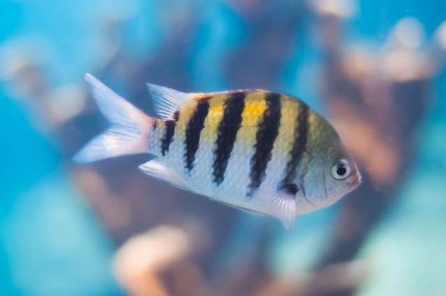 A sergeant major fish (Abudefduf saxatilis), Underwater Photography Of The Tropical Fish And Coral Reefs of Curaçao