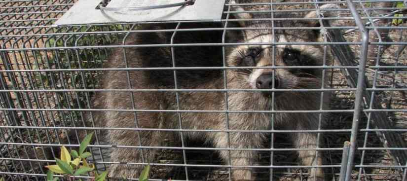 A raccoon in a trap.