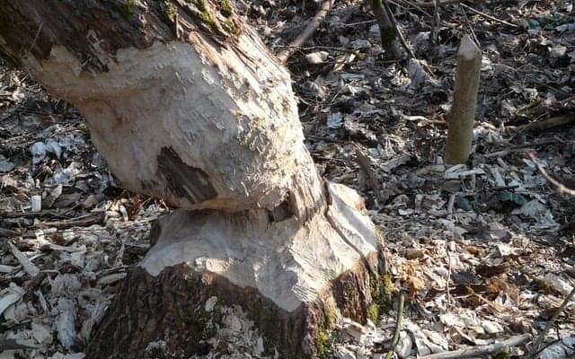 beaver tree damge