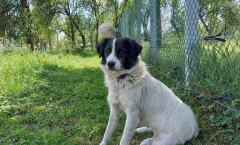 Milka - 1.5 years old, spayed female