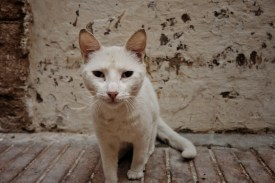 a white cat leans forward to see what the camera smells like