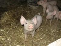 mattland-pigs