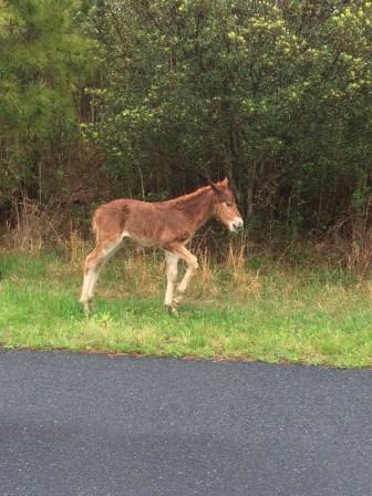 solo foal on assateague matt langley pam langley eurovan travles