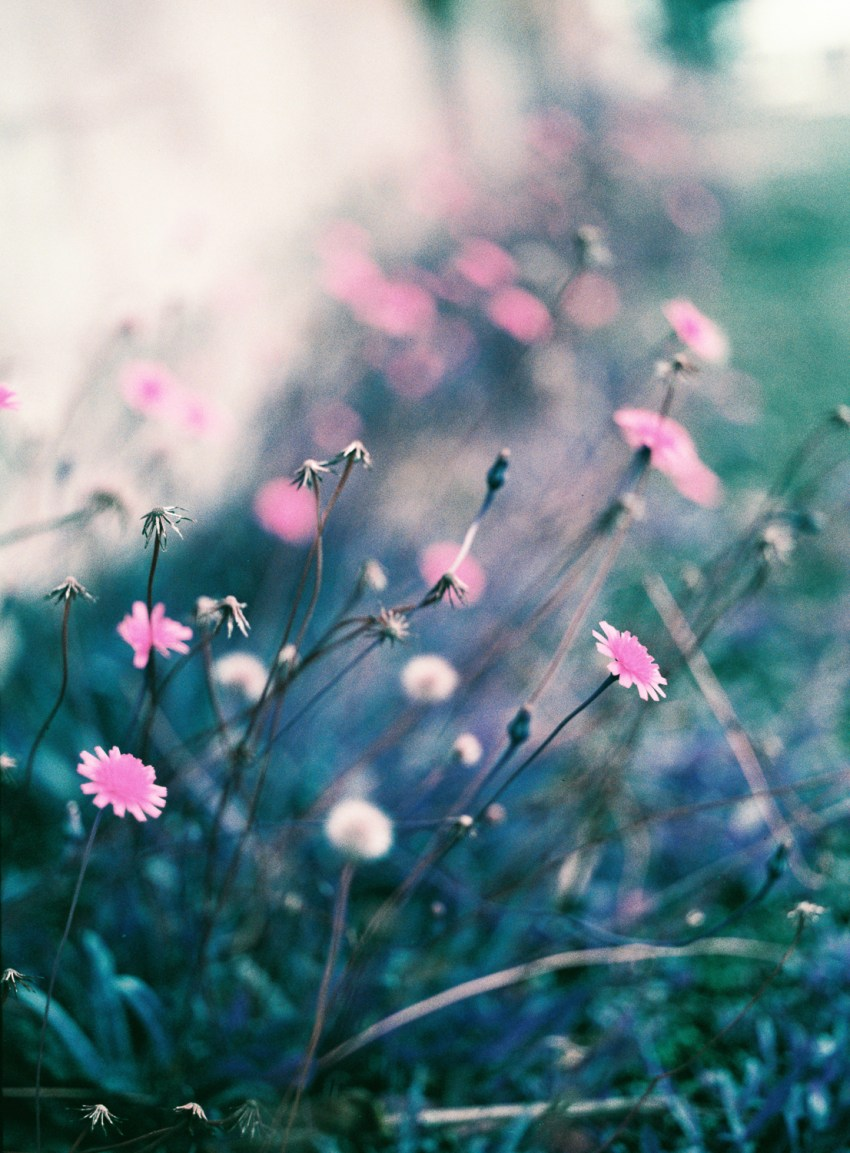 Dreamy LomoChrome Purple image of flowers taken on Pentax 645nii