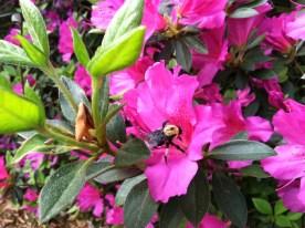 Bumblebee on bloom