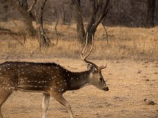 Spotted Deer, Ranthambore NP