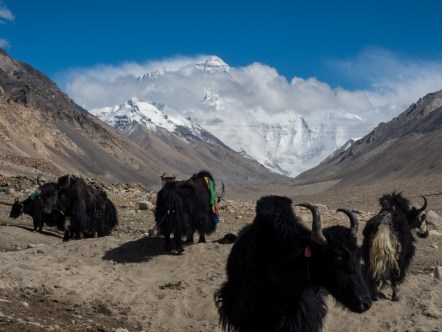 A few local yaks as we started getting closer to Everest