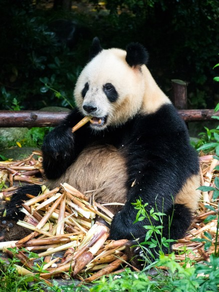 The big fella eating his way through a stack of bamboo