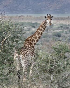 Kindness Quote Giraffe