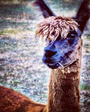 Kindness Quote Llama
