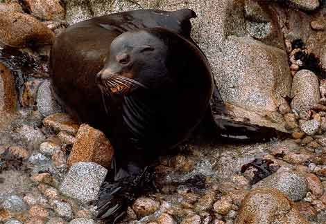 ca-sea-lion