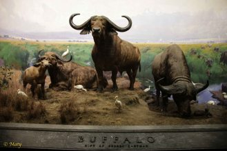 African mammals - Buffalo