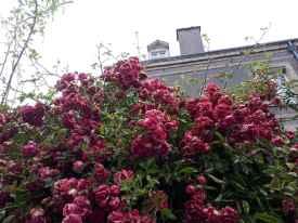 etretat roses
