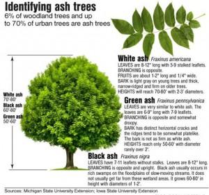 Ash trees EAB