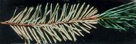 spidermite_conifer
