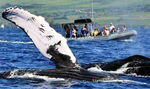Whale watching aboard the Hawaiian Ocean Rafting Tour
