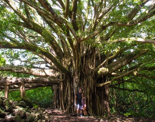 Banyan Tree on the Maui Hiking Tour