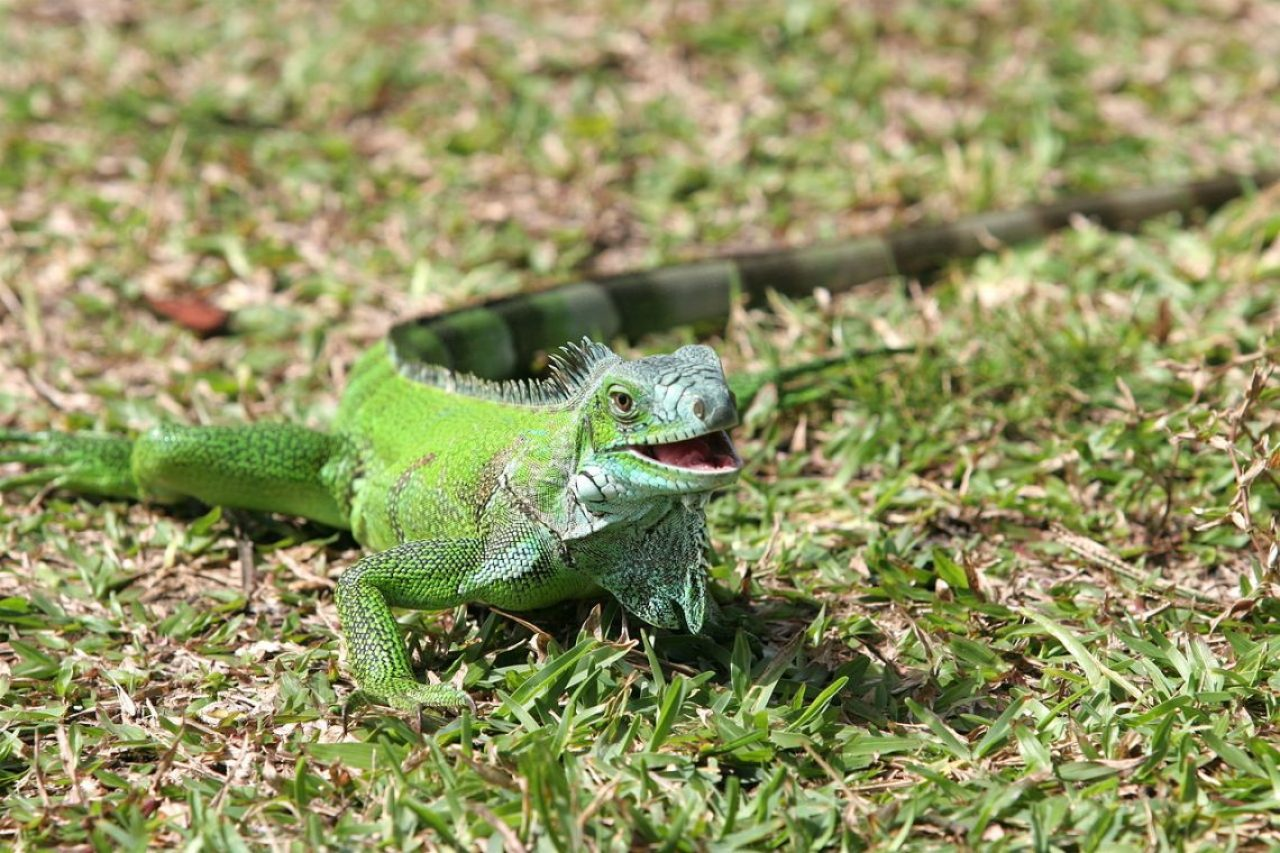 On Maui, green iguanas, like this one photographed in the French Antilles, are sometimes seen when they come down from trees. Any sightings should be reported to the Hawaii Department of Agriculture. Photo by Tristan Nicot