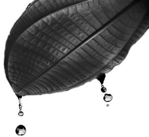 Miconia leaf with water droplets