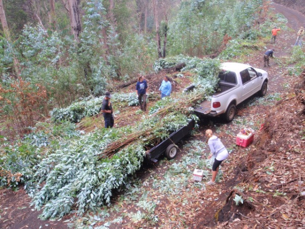 Eucalyptus harvest in Polipoli