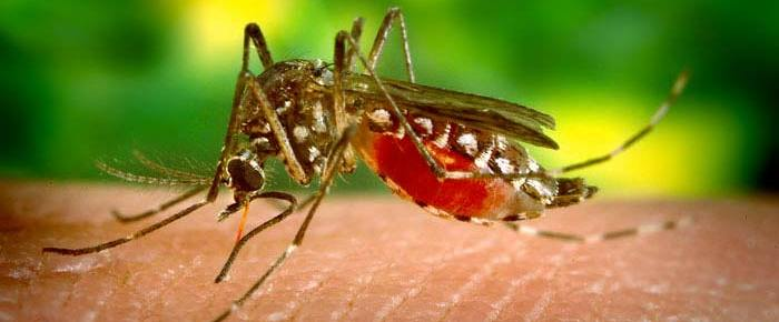 What if there were no mosquitoes in Hawaiʻi?