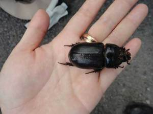 """At over 2.5"""" in length, the Coconut Rhinoceros Beetle would seem hard to miss, yet it spends most of it's life in the crown of a palm tree. Photo courtesy of Hawaii Department of Agriculture."""