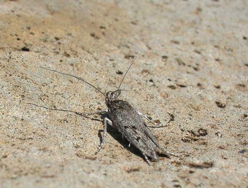 Flightless moth