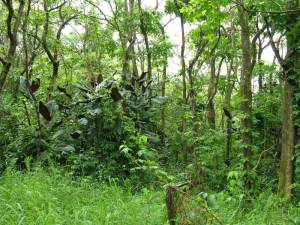 Can you spot the miconia plant? The characteristic large leaves with purple undersides cued botanists in to this plant's presence in a Ha'iku Gulch. MISC file photo