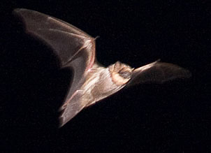 Hawaiian_hoarybat_Kokee_AFS_Kauai_May_2010-1-2