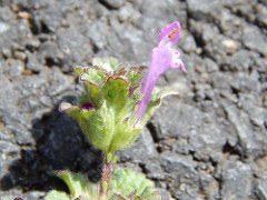 The Starrs also found Henbit, a non-native mint, during surveys. Photo courtesy of Forest and Kim Starr